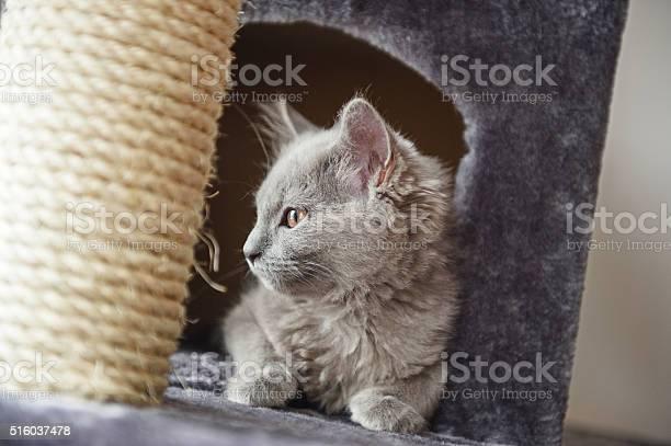 Chartreux cat in her castle picture id516037478?b=1&k=6&m=516037478&s=612x612&h=wqalupfd1 oeyvv3jgpj qldmq60prxrusnpqcejgdk=