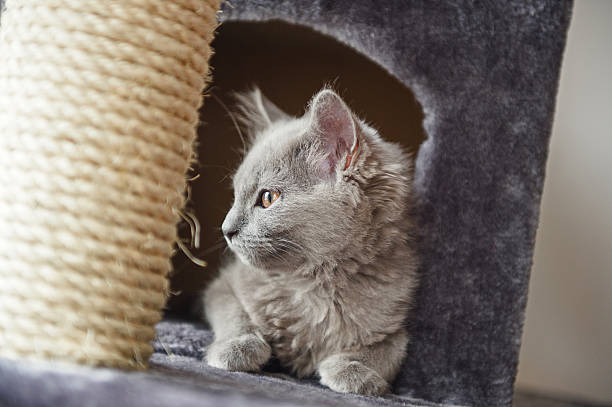 Chartreux cat in her castle stock photo