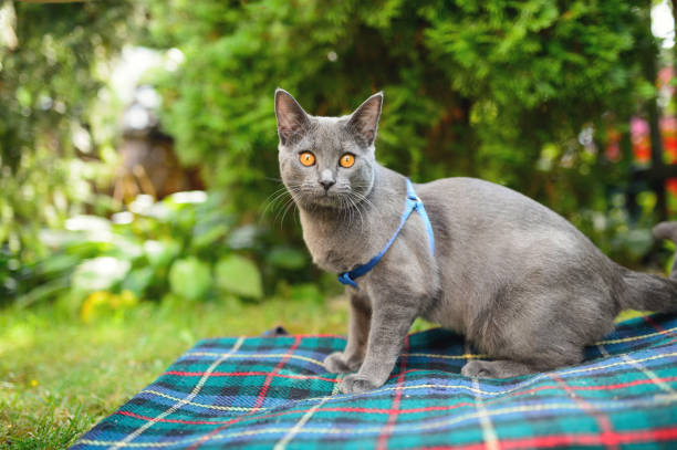 chartreux cat in summer - cat leash stock photos and pictures