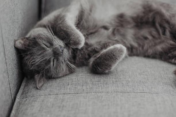 chartreux katze liegt auf dem sofa - karthäuserkatze stock-fotos und bilder