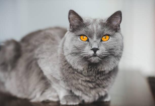 chartreux katze blick in die kamera - karthäuserkatze stock-fotos und bilder