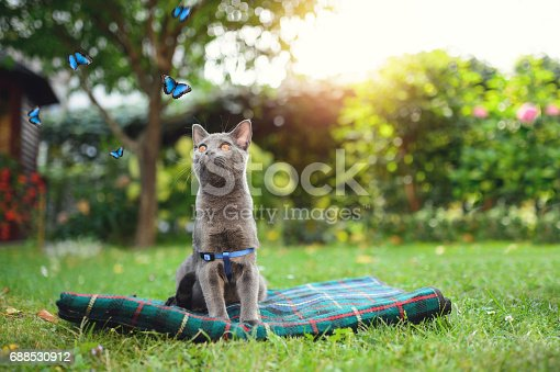 Beautiful Chartreux cat looking at the butterflies