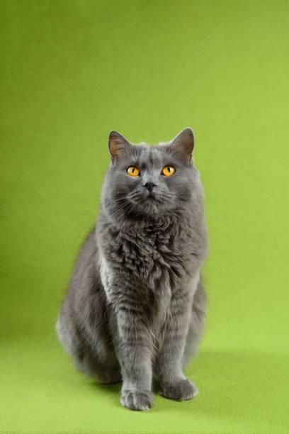 chartreux katze nach oben schauen - karthäuserkatze stock-fotos und bilder