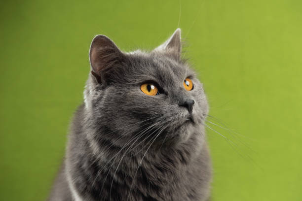 Chartreux cat looking up stock photo