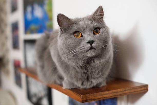 chartreux katze nachschlagen - karthäuserkatze stock-fotos und bilder