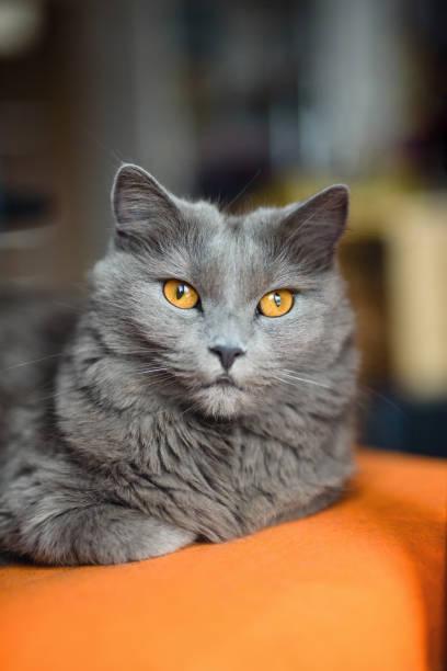 chartreux katze auf einem fleisch - karthäuserkatze stock-fotos und bilder