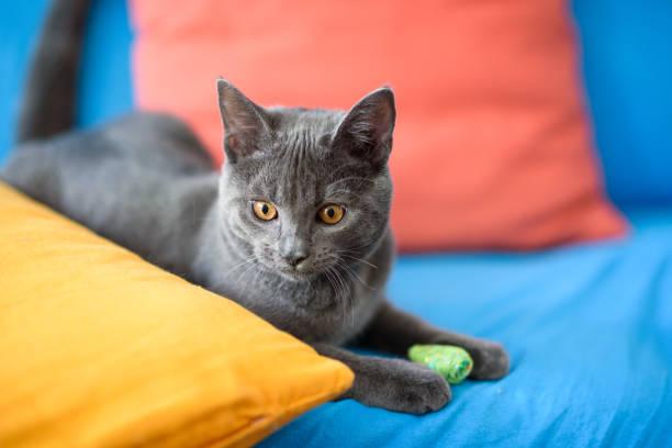 chartreux katze auf sofa - karthäuserkatze stock-fotos und bilder