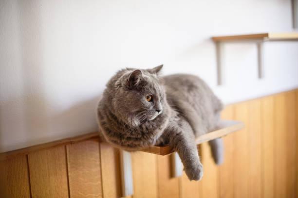 Chartreux cat on the shelf picture id669974380?b=1&k=6&m=669974380&s=612x612&w=0&h=w7zahhh0v6gb0cm qwpl8hma3m4bjyq iziurpqdhnm=