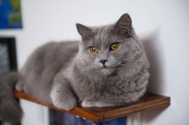 chartreux katze auf dem regal - karthäuserkatze stock-fotos und bilder