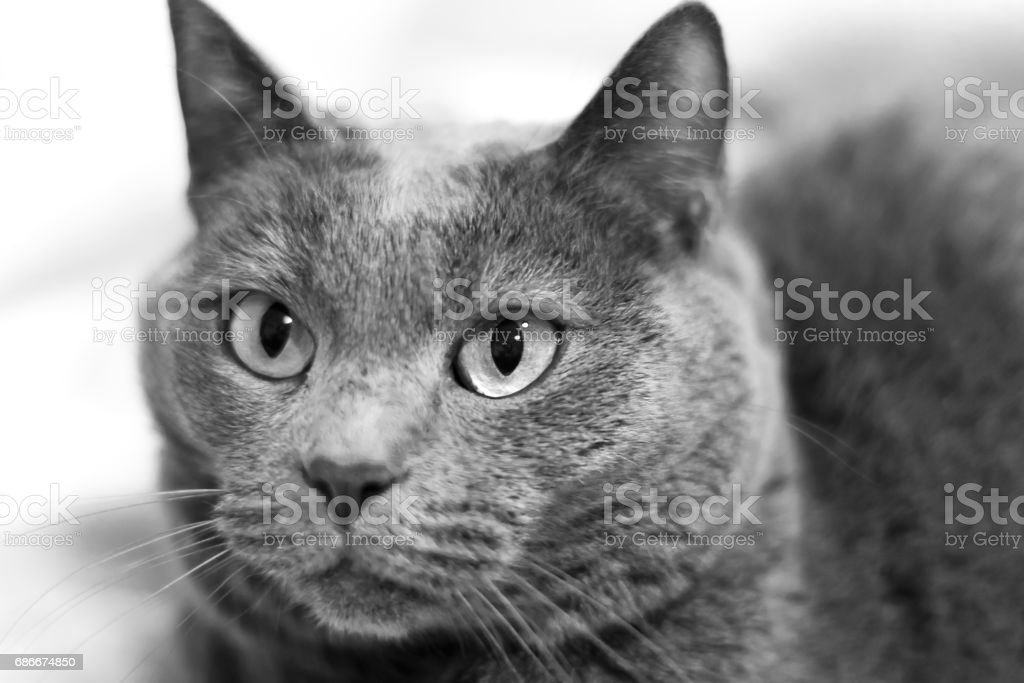 Chartreux Cat stock photo