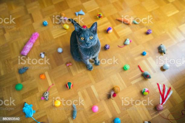 Chartreux cat sitting among toys picture id880953540?b=1&k=6&m=880953540&s=612x612&h=owkui6jnlt60opbccat66smgy5sf9m4ps y4ztaerfi=
