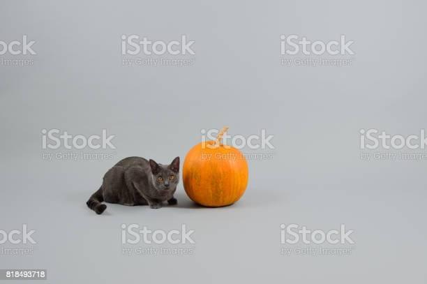 Chartreux cat sitting near pumpkin picture id818493718?b=1&k=6&m=818493718&s=612x612&h=xr facyanlmf4gqncbpcays7 etsjy4vvbf6teuadpa=