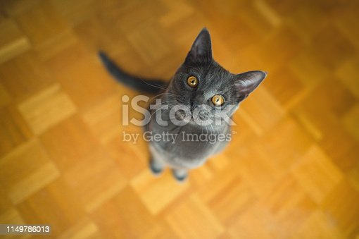 9 months old Chartreux Cat Sitting On The Wooden Floor