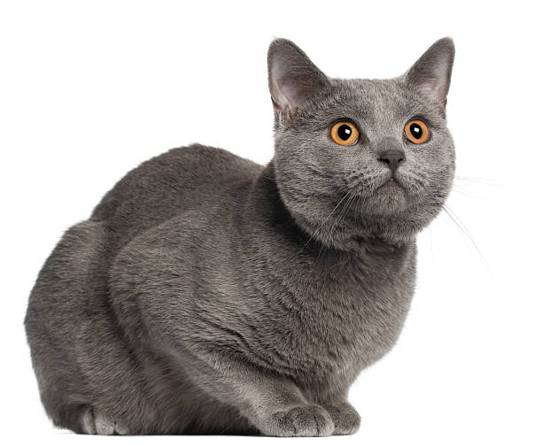 Chartreux cat ten months old white background picture id121195662?b=1&k=6&m=121195662&s=612x612&w=0&h=vybr6wh jdjtuckkunbk5aovakvr9ynwxbjiijuakio=