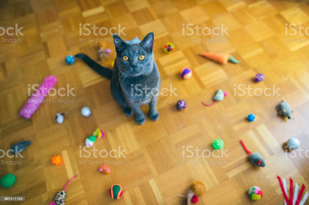 Chartreux Katze mit Spielzeug – Foto