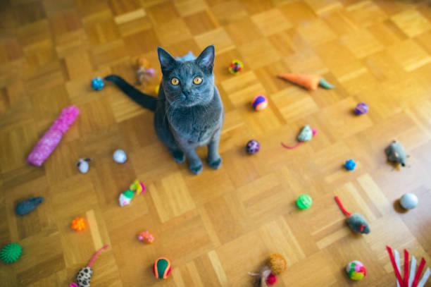 chartreux katze mit spielzeug - karthäuserkatze stock-fotos und bilder