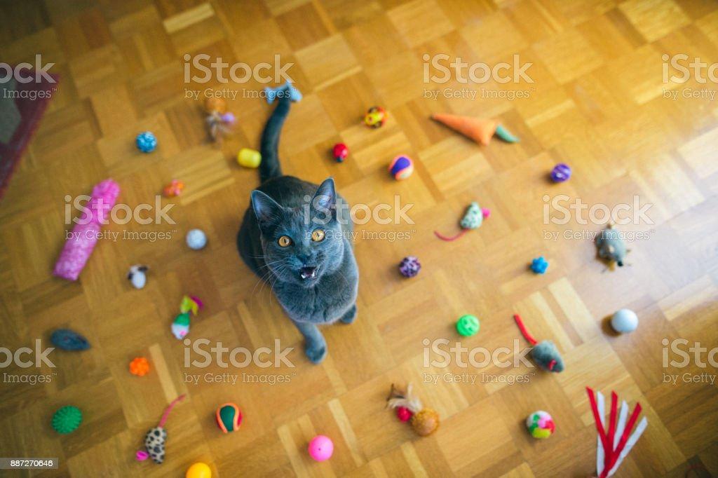 Chartreux Katze schreien – Foto