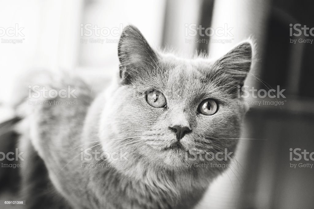 Chartreux in Balc And White stock photo