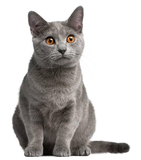chartreux katze, 5 monate alt, vor weißem hintergrund. - karthäuserkatze stock-fotos und bilder