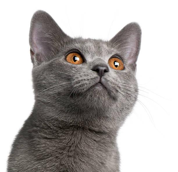 chartreux katze, 5 monate alt, blick nach oben, weißer hintergrund. - karthäuserkatze stock-fotos und bilder