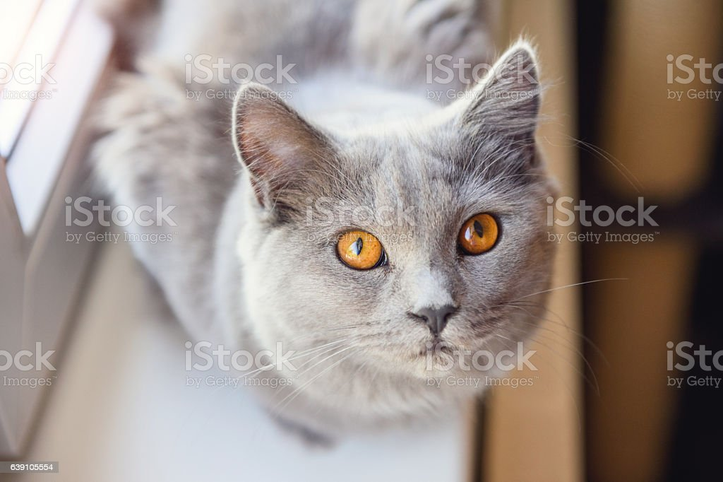 Chartreux Looking Up stock photo