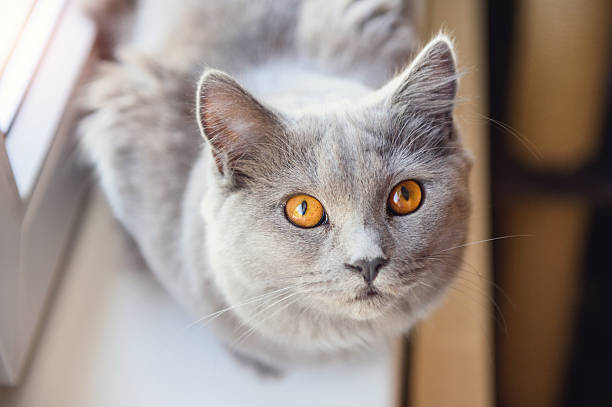 Chartreux Looking Up – Foto