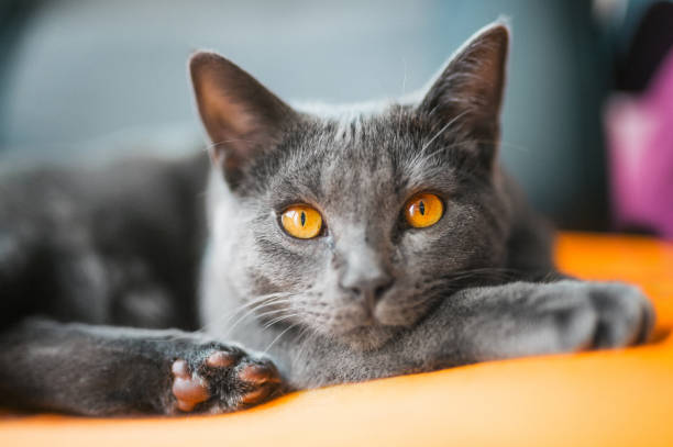 Chartreux lying on a chair stock photo