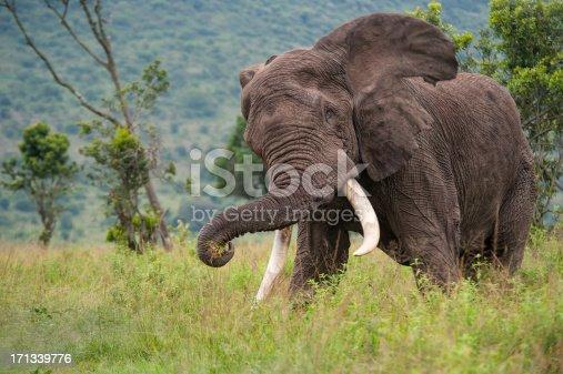 istock Chasing Elephant in the Masai Mara 171339776