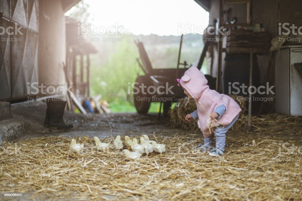 Chasing little chicken birds on the farm stock photo