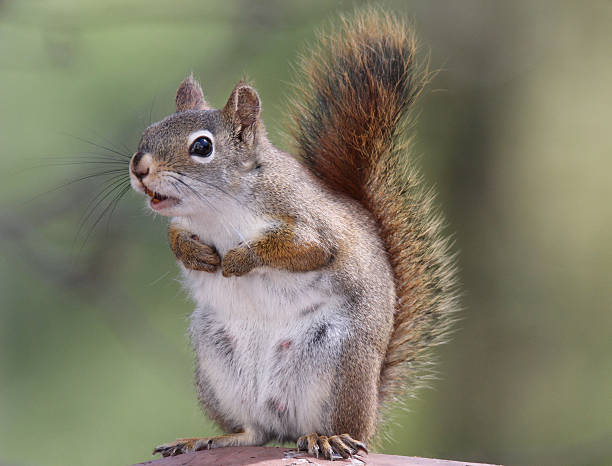 Best Angry Squirrel Stock Photos, Pictures & Royalty-Free