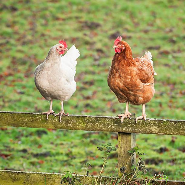 chats hühner-zwei hühner auf einem hölzernen zaun - henne stock-fotos und bilder