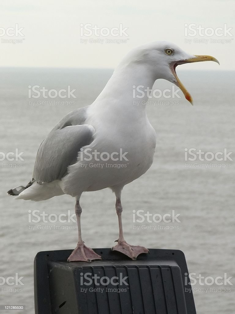 chatting seagull royalty-free stock photo