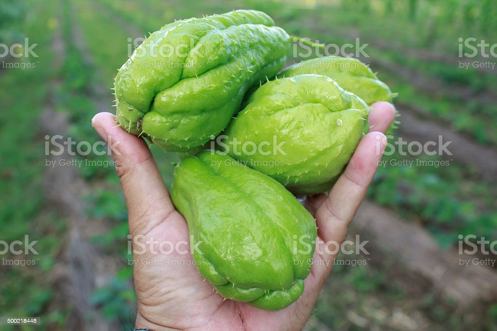 Chayote being held by a hand and isolated stock photo