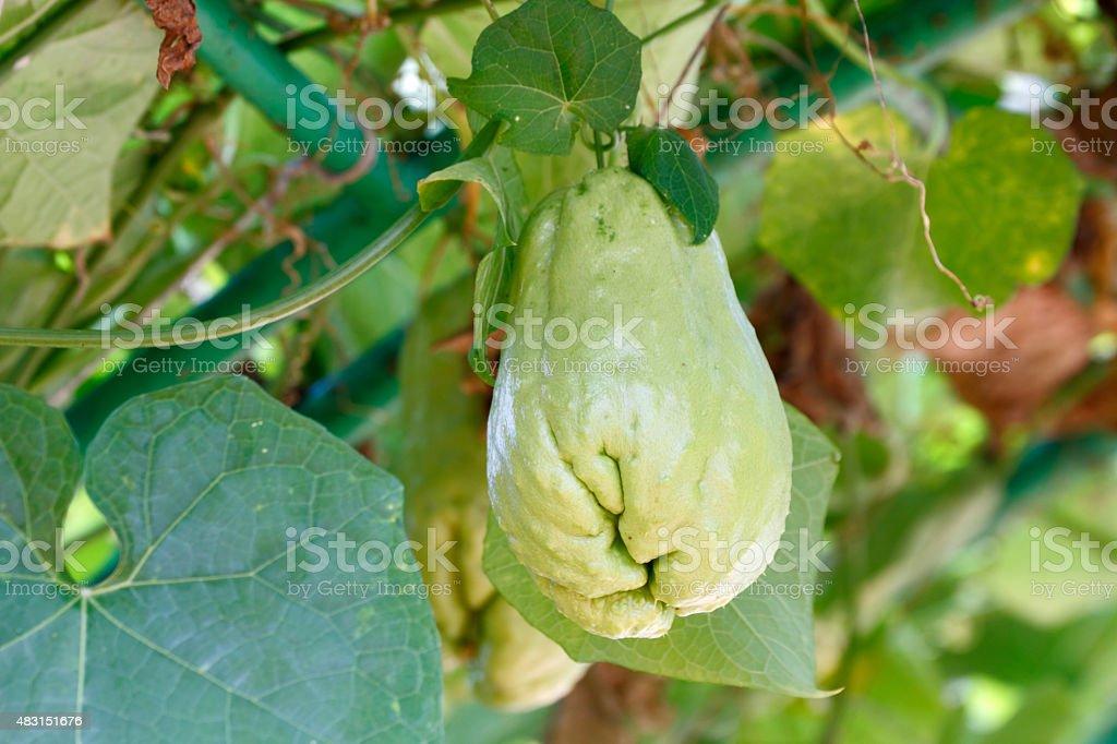 chayote fruit stock photo