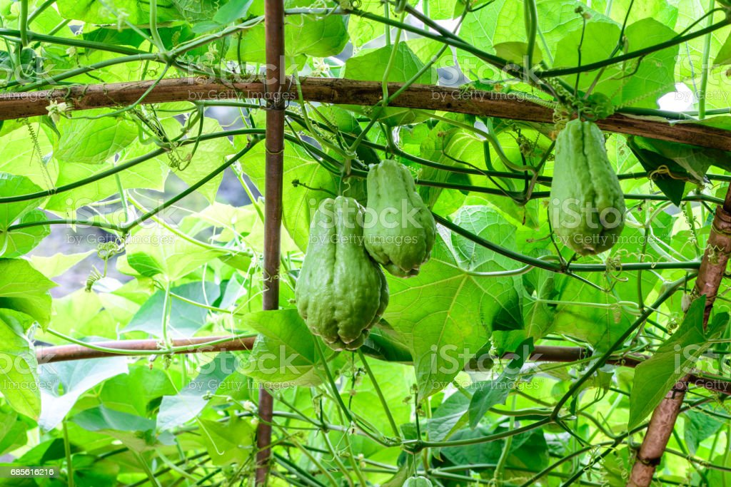 Chayote fruits hang on trellis. royalty-free stock photo