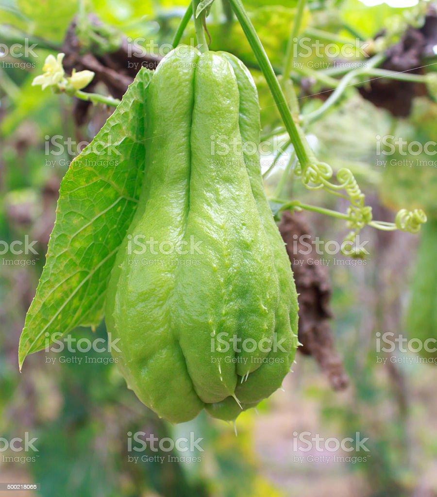 Chayote (chouchou) on a plant in farm stock photo