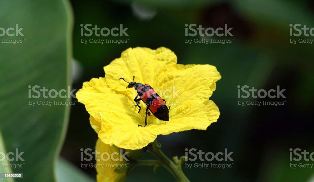 Enoclerus ichneumoneus en flor foto de stock libre de derechos
