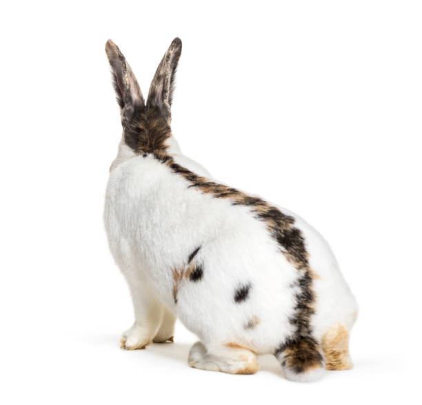 Checkered giant rabbit is a breed of domestic rabbit that originated picture id1034934016?b=1&k=6&m=1034934016&s=612x612&w=0&h=1b9xz2hozicagceotpffn n5xdodulsxgvvxc7cj4z4=