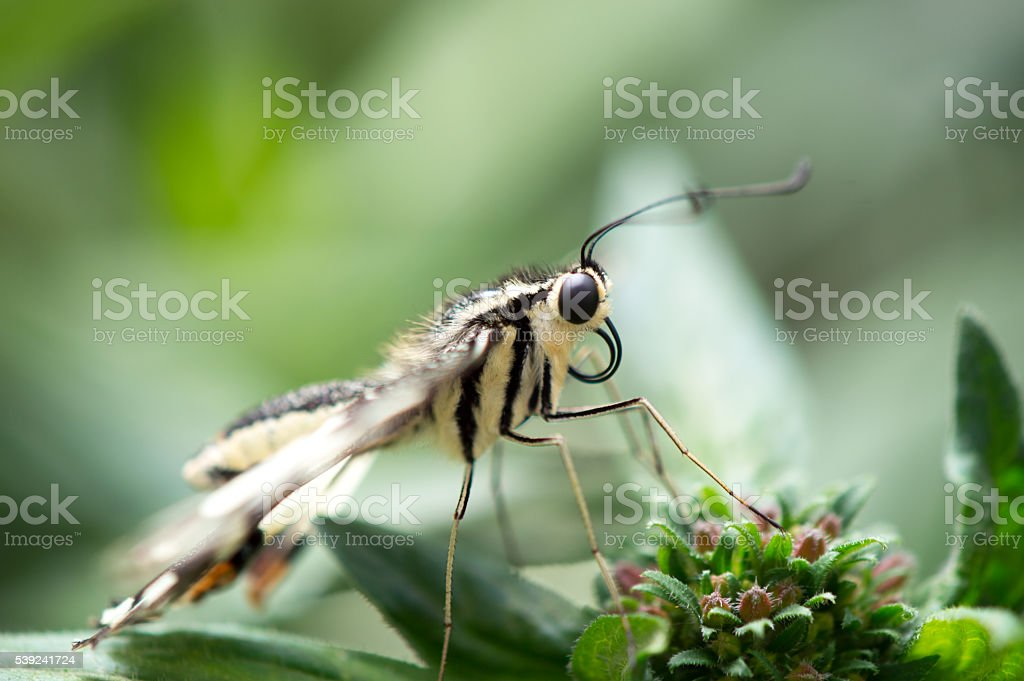 Checkered swallowtail royalty-free stock photo