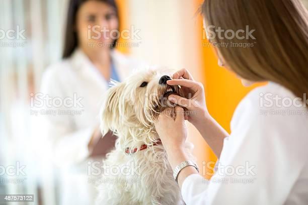 Checking teeth of maltese dog in vet clinic picture id487573122?b=1&k=6&m=487573122&s=612x612&h=wix4eepogdzpvt84qilrbmfl6paldtyi xkzemaqpv0=