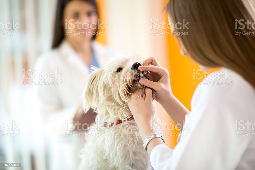 Checking teeth of Maltese dog in vet clinic stock photo