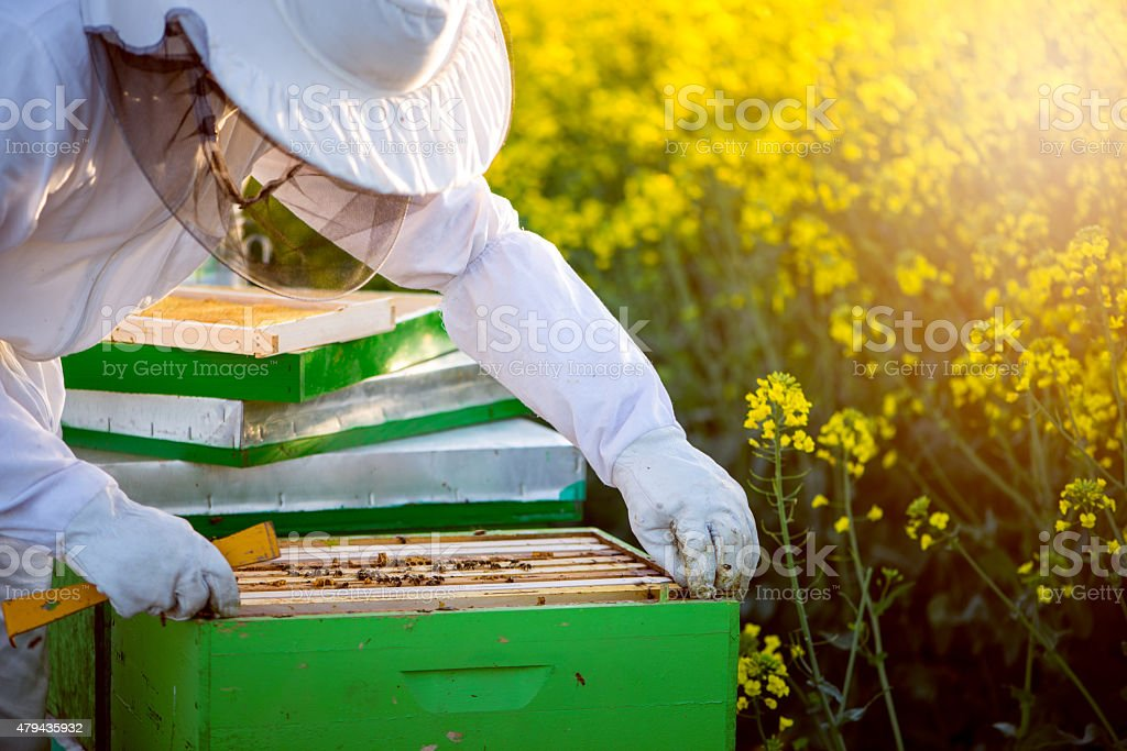 Checking the hives stock photo