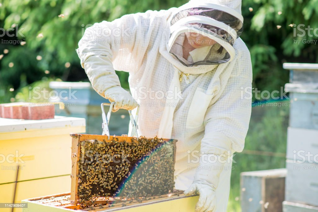 Young beekeeper wearing protective wear pulling out a honey super...