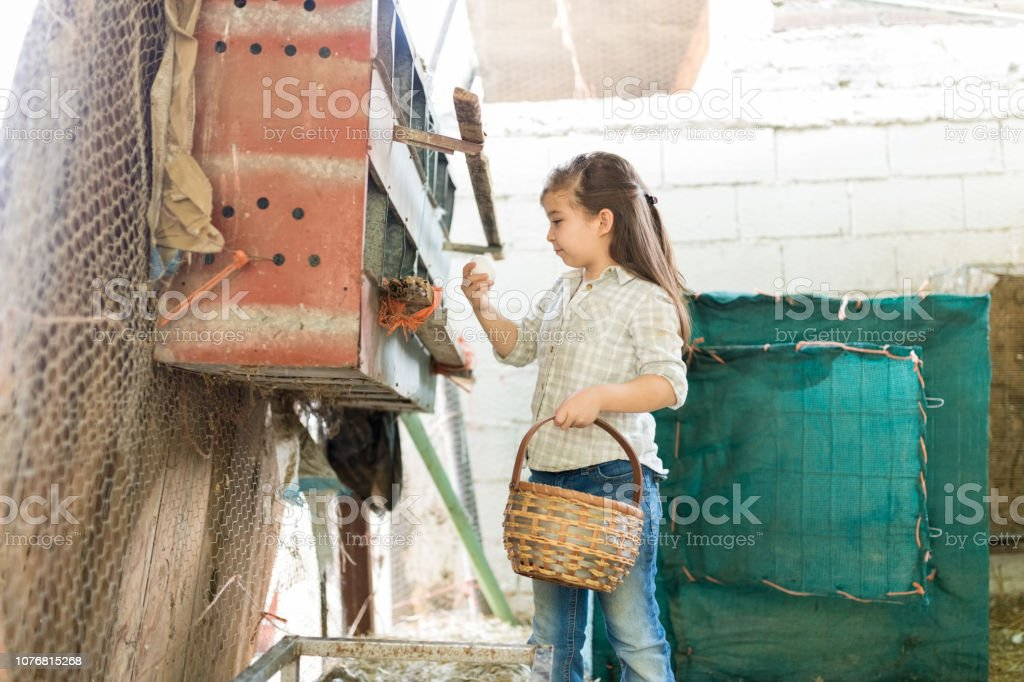 Checking The Quality Of Chicken Egg stock photo