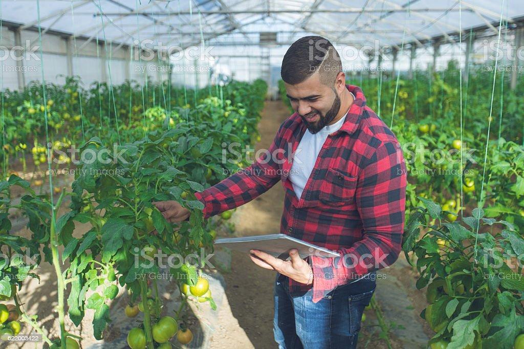 Checking the tomatos stock photo