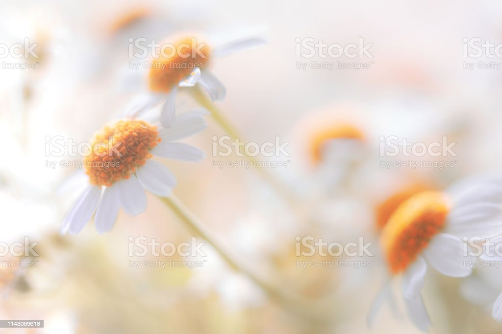 Cheeful Soft Pastel Colored Daisy Flower Background with Copy Space stock photo