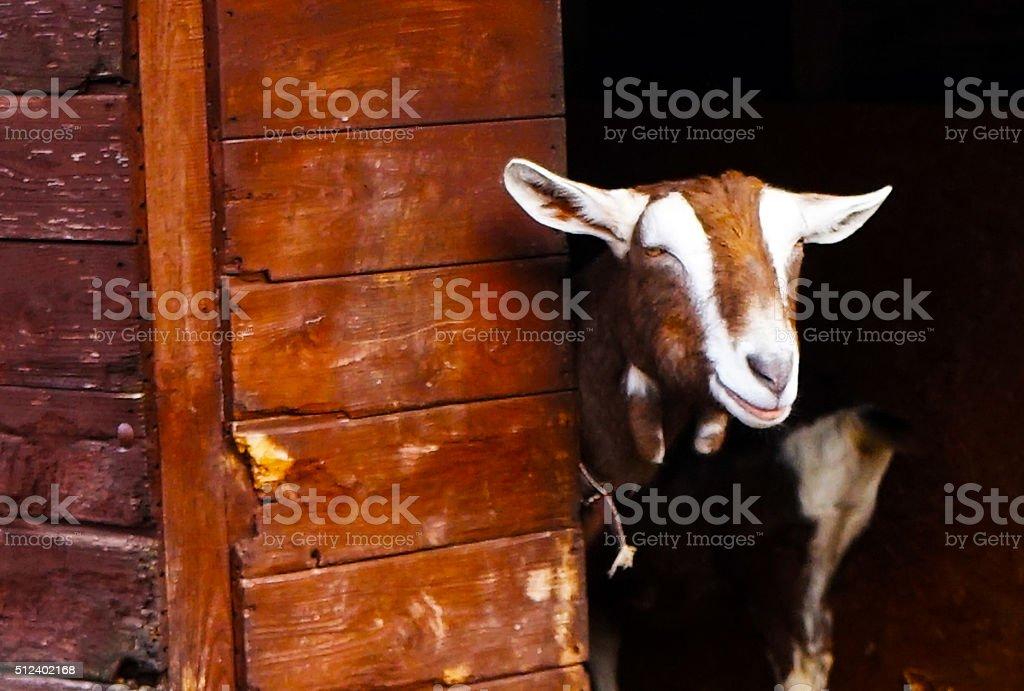 Cheeky Goat stock photo