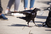 Cheeky Raven trying to steel a bag of food from a tourist rucksack