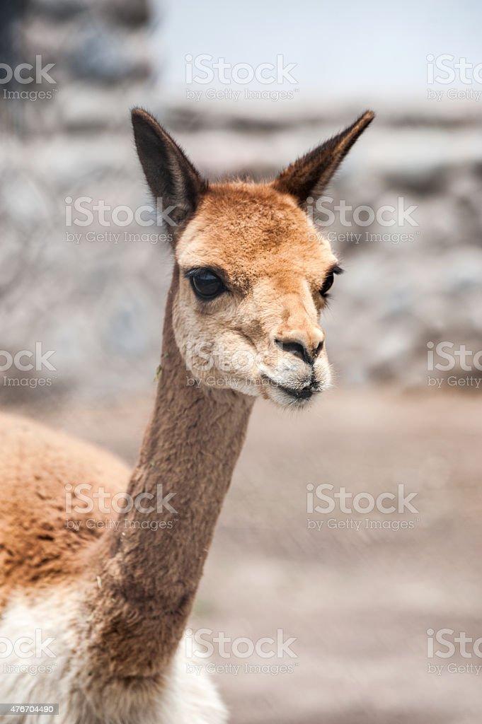 Cheerful adorable vicunia looking at the camera, Peru stock photo