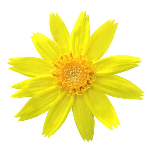 Fröhlich leuchtend gelbe Arnika Blume weißer Hintergrund Ausschneiden – Foto
